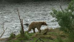 BROWN BEAR CHASE - stock footage