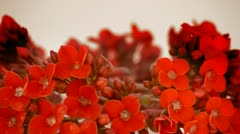 Stock Video Footage of Red flowers. Loop.