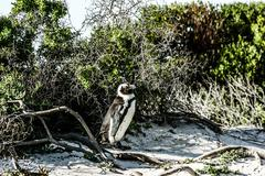 african pinguins at bolders beach in south africa - stock photo