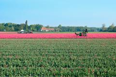 Tractor afield in holland that the truncated tulip Stock Photos