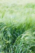 green wheat ears close up at spring - stock photo