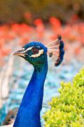 Head peacock Stock Photos