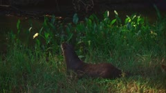 Otter in Big Thicket, Texas 1 Stock Footage