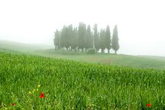 cypress trres in fog in the italian tuscany - stock photo
