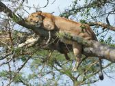 Stock Photo of lion resting on a tree
