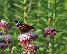 Red admiral on flower at summer time Stock Photos