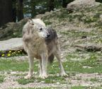 Stock Photo of gray wolf in natural ambiance