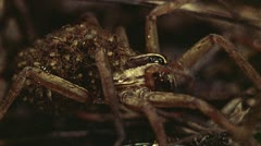 Wolf spider with babies Stock Footage