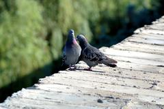 love games of pigeons on a parapet - stock photo
