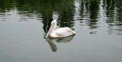 bird the pelican floating on water - stock photo