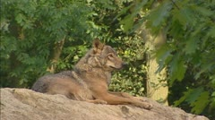 Grey Wolf (canis lupus) Stock Footage