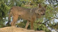 Grey Wolf (canis lupus) on sand pile and runs away Stock Footage