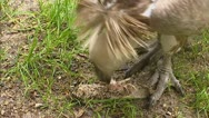 Stock Video Footage of Griffon Vulture (Gyps fulvus) picking meat - medium shot