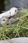 Texas rat snake in a bird's nest Stock Photos