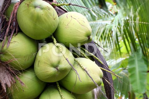 Stock photo of tropical coconut