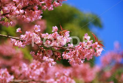Stock photo of sakura