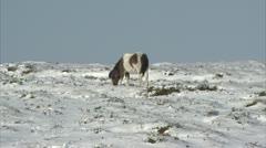 Dartmoor pony digging in snow Stock Footage