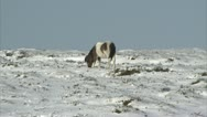 Stock Video Footage of Dartmoor pony digging in snow