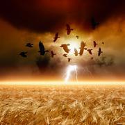 Flock of flying ravens, wheat field Stock Photos