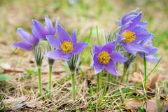 Pasque flower in a forest Stock Photos