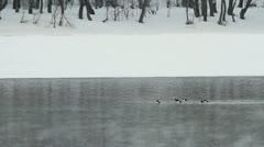 Wild duck goldeneyes Stock Footage