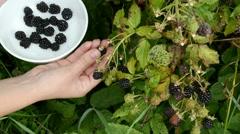 Woman hand pick gather ripe timbleberry rubus plant bush dish Stock Footage
