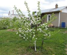 blossoming young apple-tree - stock photo