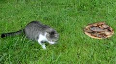 Cat eat stolen fresh smoked fish and frighten run away Stock Footage
