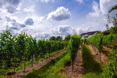 Vineyard in the summer of stuttgart - stock photo
