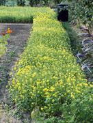 white mustard (sinapis alba). - stock photo