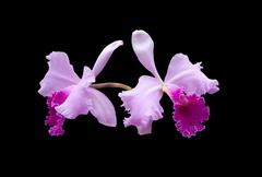violet orchid - stock photo