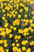 the young yellow tulips - stock photo