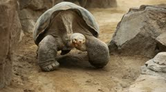 Slow Moving Tortoise Stock Footage