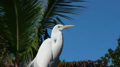 Great Egret in the Florida Keys Stock Footage