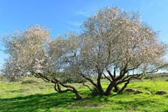 Old almond tree in bloom Stock Photos