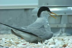 Roseate Terns nesting Stock Footage