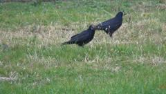Crow Finds a Nut in Grass, Hungry Crows Searching for Nuts, Ravens on Grass Stock Footage