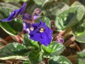 Viola violet flower Stock Photos
