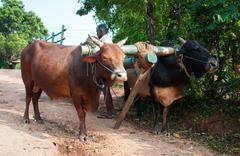 traditional sri lankian yoke oxen wagon - stock photo
