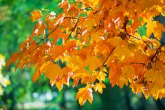 Autumn maple trees in  park Stock Photos