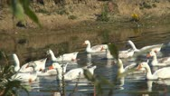 Stock Video Footage of Goose, Flock of Geese Swimming on a River in Delta
