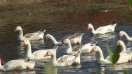 Goose, Flock of Geese Swimming on a River in Delta Stock Footage
