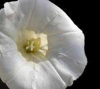 White bindweed flower in black back Stock Photos
