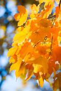 autumn maple trees in  park - stock photo