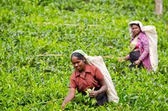 Tea picking in sri lanka hill country Stock Photos