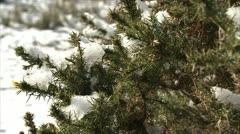 Snow clinging to gorse HD Stock Footage