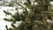 Stock Video Footage of Snow clinging to gorse HD