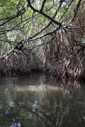 mangrove tangle - stock photo