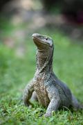 wild varanus - stock photo