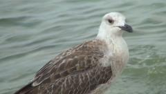 Seagull, Seabird, Close Up Stock Footage